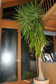 yucca palmen in stuttgart pflanzen garten g nstige. Black Bedroom Furniture Sets. Home Design Ideas