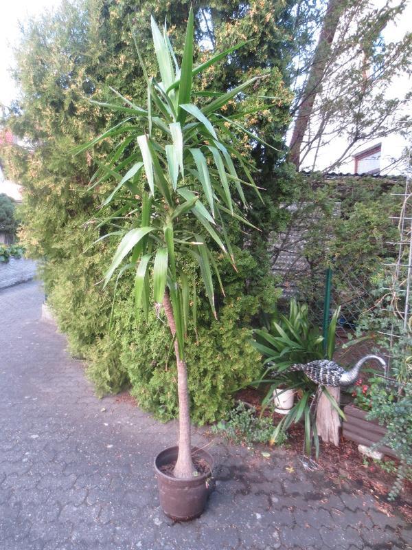 yucca palmen und andere topfpflanzen aus privatzucht in. Black Bedroom Furniture Sets. Home Design Ideas