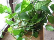 Zimmerpflanze Ampelpflanze Epipremnum