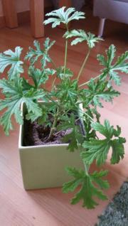 Zimmerpflanze / Duftgeranie mit