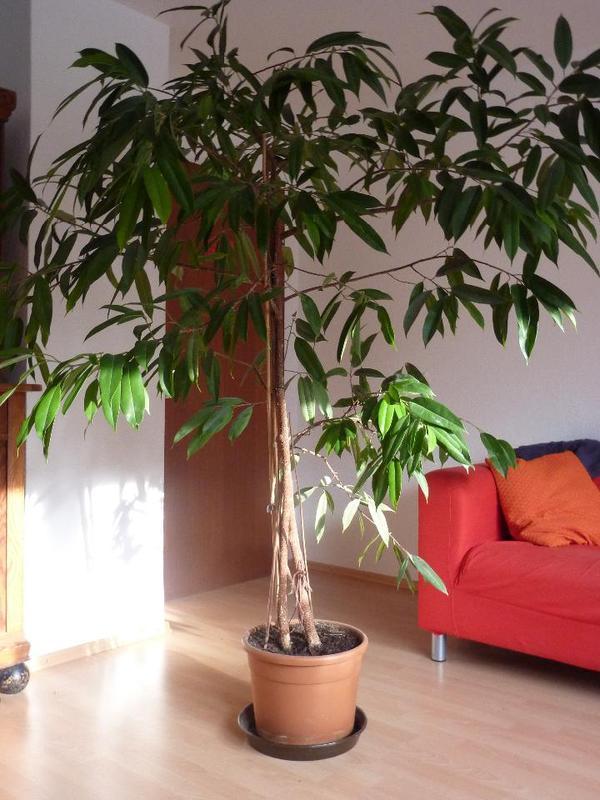 zimmerpflanze ficus longifolia in otterberg pflanzen kaufen und verkaufen ber private. Black Bedroom Furniture Sets. Home Design Ideas
