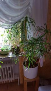 Zimmerpflanze / Wasserpalme