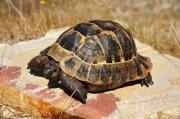 Zuchtmännchen, Maurische Landschildkröte,