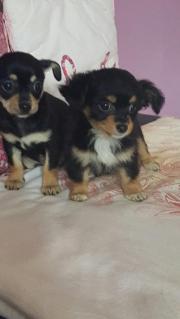 Zwei kleine Chihuahua