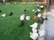Zwerg - Seidenhühner, Bruteier