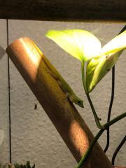 1.1 Phelsuma