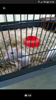 2 Ratten Weibchen