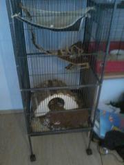4 süße Ratten