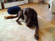 Älterer treuer Labrador-