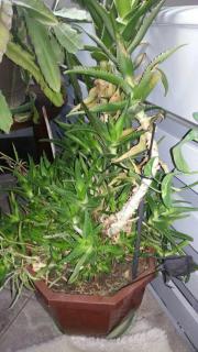 Aloe Vera Pflanze In Berlin - Pflanzen & Garten - Günstige ... Aloe Vera Pflanze