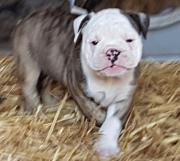 alternativ Bulldogge, weiblich,
