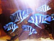 Aulonocara Tropheus Metriaclima Julidochromis Neolamprologus