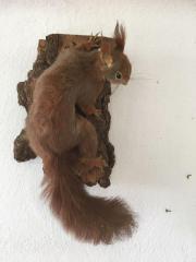 ausgestopfte Tiere, Eichhörnchen,