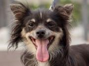 BABBY, Chihuahua - vorgesehen