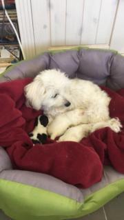 Baby Hunde Malteser