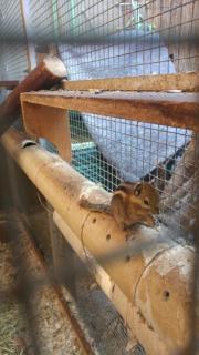 Baumstreifenhörnchen junge