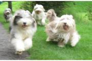 Bearded Collie, happy-