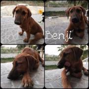 Benji (Rüde aus