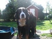 Bernersennen & Airedale -Terrier