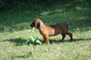 BGS, Bayerischer Gebirgsschweißhunde