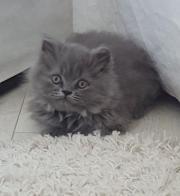 BLH Kitten (m) (