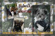 Bolonka Zwetna Welpen