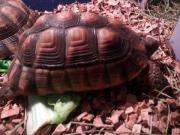 Breitrandschildkröten mit Zubehör