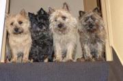 Cairn-Terrier von-