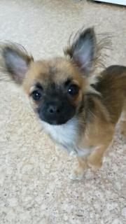Chihuahua Hündin 13