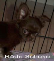 Chihuahua Rüde schoko
