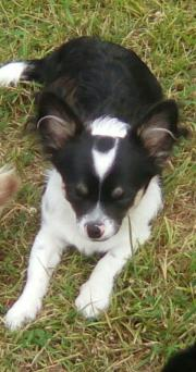 Chihuahua-Welpen Langhaar