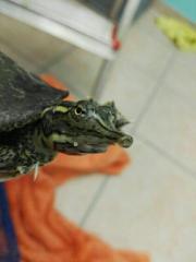 Dornrandweichschildkröte Apalone (w)