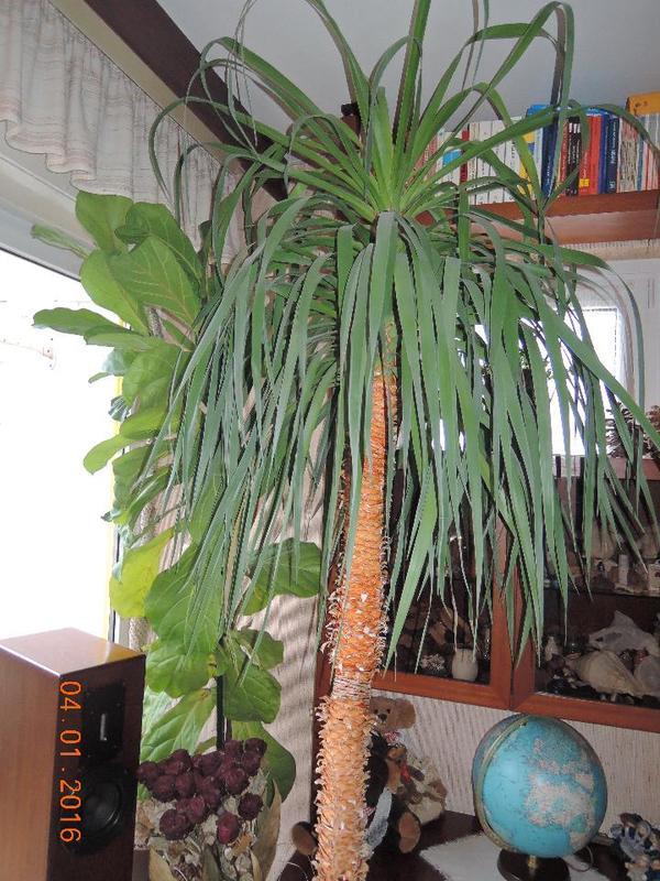 Drachenbaum h he 2 5 meter hoch in m hltal pflanzen for Drachenbaum zimmerpflanze