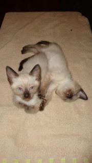 Ein Siam Kitten
