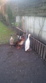 Enten zu verkaufen