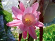 Epiphyllum hybrid (Deutsche