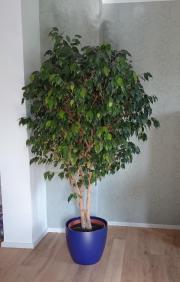 wundersch ners avocadobaum in esslingen pflanzen kaufen und verkaufen ber private kleinanzeigen. Black Bedroom Furniture Sets. Home Design Ideas
