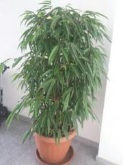 Ficus longiflora