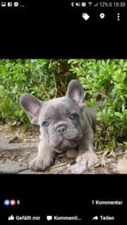 Französische Bulldog Welpe