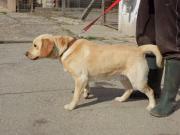 Freundlicher Labrador sucht