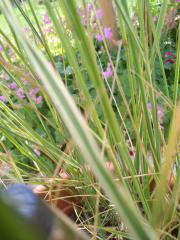 Gras (weiß-grün),
