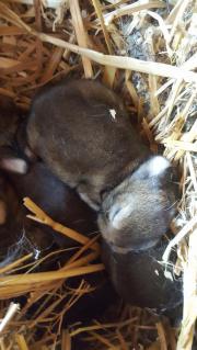 Graue Wiener Kaninchen