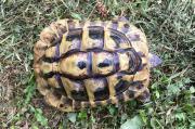 Griechische Landschildkröte, männlich,