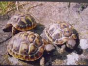 Griechische Landschildkröten u Vierzehenlandschildkröten