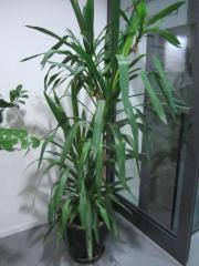 große Zimmerpflanzen - Ficus Benjamin Yukka