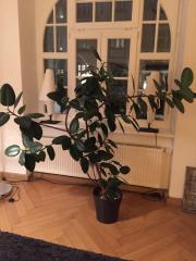 Gummibaum (Ficus elastica)