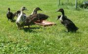Junge Mix-Enten (