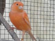 Kanarien Hahn aus