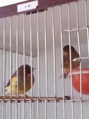 Kanarienvögel (Gloster)