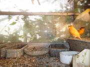 Kanarienvogel / Kanarienvögel